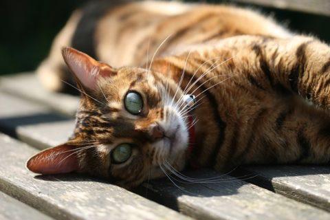 Quelles sont les caractéristiques et les qualités spécifiques du chat bengal ?